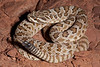 EL Colubroidea Viperidae Crotalinae<br /> Crotalus oreganus abyssus<br /> Grand Canyon Rattlesnake<br /> Cococino County<br /> 2012