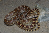 EEB Colubroidae Colubridae<br /> Pituophis catenifer affinis<br /> Sonoran Gopher Snake<br /> Pima County <br /> 2012