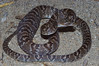 EEB Colubroidae Colubridae<br /> Trimorphodon lambda<br /> Sonoran Lyre Snake<br /> Pima County