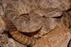 EL Colubroidea Viperidae Crotalinae<br /> Crotalus tigris<br /> Tiger Rattlesnake<br /> Pima County