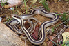 EEB Colubroidae Colubridae<br /> Salvadora grahamiae grahamiae<br /> Mountain Patch Nosed Snake<br /> Cochise County