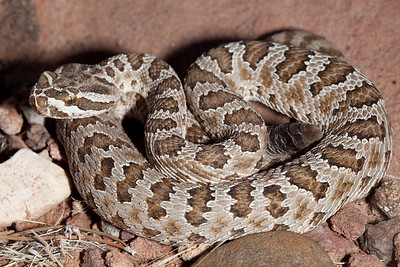 EL Colubroidea Viperidae Crotalinae Crotalus oreganus abyssus Grand Canyon Rattlesnake Cococino County 2012