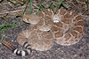 EL Colubroidea Viperidae Crotalinae<br /> Crotalus atrox<br /> Western Diamondback Rattlesnake<br /> Cochise County