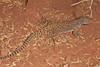DA Iguania Iguanidae Crotaphytidae<br /> Gambelia wislizenii<br /> Long Nosed Leopard Lizard<br /> Coconino County<br /> 2012