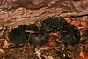 EL Colubroidea Viperidae Crotalinae<br /> Crotalus cerberus<br /> Arizona Black Rattlesnake<br /> Pima County