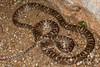 EEB Colubroidae Colubridae<br /> Trimorphodon lambda<br /> Sonoran Lyre Snake<br /> Pima County<br /> 2012