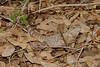 DA Iguania Iguanidae Iguanidae<br /> Ctenosaura macrolopha <br /> Sonoran Spiny Tailed Iguana<br /> Pima County<br /> (Non-native)<br /> 2013