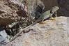 DA Iguania Iguanidae Crotaphydidae<br /> Crotaphytus collaris <br /> Eastern Collared Lizard<br /> Pima County<br /> 2012