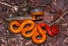 EEF Colubroidea Dipsadidae<br /> Diadophis punctatus regalis<br /> Regal Ringneck Snake<br /> Santa Cruz County