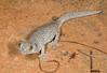 DB Gekkota Diplodactylidae<br /> Strophurus williamsi <br /> Eastern spiny-tailed gecko<br /> Warrumbungle NP