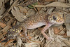 DB Gekkota Carphodactylidae<br /> Underwoodisaurus milii <br /> Thick-Tailed Gecko<br /> Warrumbungle NP