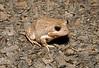 BI Myobatrachidae Limnodynastinae<br /> Limnodynastes dumerilii<br /> Banjo Frog<br /> Warrumbungles NP