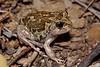 BI Myobatrachidae Limnodynastinae<br /> Neobatrachus sudelli<br /> Common Spadefoot Toad<br /> Warrumbungle NP