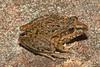 BC Hylidae Pelodryadinae<br /> Litoria freycineti<br /> Freycinet's Rocket Frog<br /> Woolongong