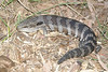 DCF Scincomorpha Scincidae Egerniinae<br /> Tiliqua scincoides <br /> Common blue-tongued skink<br /> Mudgee