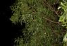 EEB Colubroidea Colubridae<br /> Dendrelaphis punctulatus<br /> Common Tree Snake<br /> Fogg Dam