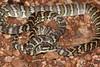 EC Pythonoidea Pythonidae<br /> Morelia spilota variegata<br /> Northern Carpet Python