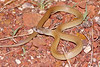 EI Colubroidea Elapidae<br /> Pseudechis australis<br /> King Brown Snake