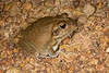 BC Hylidae Pelodryadinae<br /> Cyclorana australis<br /> Giant Frog<br /> Kakadu