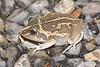 BC Hylidae Pelodryadinae<br /> Cyclorana longipes <br /> Long-footed Frog<br /> Kakadu