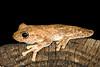 BC  Hylidae Pelodryadinae<br /> itoria rothii <br /> Roth's Tree Frog,<br /> Fogg Dam
