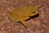 BA Bufonidae<br /> Rhinella marina<br /> Cane Toad<br /> Kakadu<br /> Non-native