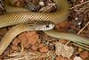 EI Colubroidea Elapidae<br /> Pseudechis australis<br /> King Brown Snake<br /> Katherine