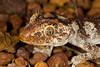 DB Gekkota Diplodactylidae<br /> Strophurus ciliaris ciliaris<br /> Northern Spiny Tailed Gecko<br /> Katherine