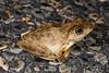 BC  Hylidae Pelodryadinae<br /> itoria rothii <br /> Roth's Tree Frog,<br /> Kakadu