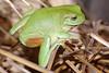BC Hylidae Pelodryadinae<br /> Litoria caerulea <br /> Green Tree Frog<br /> Kakadu