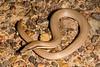 DB Gekkota Pygopodidae<br /> Lialis burtonis<br /> Burton's Legless Lizard
