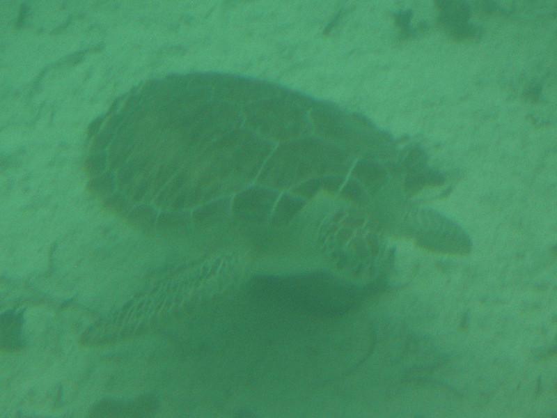 F Cryptodira Chelonioidea Cheloniidae<br /> Chelonia mydas <br /> Green Sea Turtle<br /> 2013
