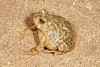 BA Bufonidae<br /> Anaxyrus californicus (Bufo californicus)<br /> Arroyo Toad<br /> Mike's Sky Ranch <br /> 2013