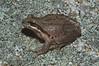 BC<br /> Pseudacris regilla<br /> Pacific Treefrog<br /> Sierra Juarez<br /> 2012