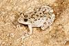 BC<br /> Pseudacris cadaverina<br /> California Treefrog<br /> Mike's Sky Ranch<br /> 2013