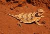 DA<br /> Phrynosoma cerroense<br /> Cedros Island Horned Lizard<br /> Colonet<br /> 2013