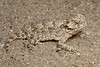 DA<br /> Phrynosoma blainvillii<br /> Coast Horned Lizard<br /> Sierra Juarez<br /> 2013
