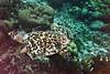 F Cryptodira Chelonioidea Cheloniidae<br /> Eretmochelys imbricata imbricata<br /> Atlantic Hawksbill Sea Turtle<br /> 2016