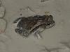 BA Bufonidae<br /> Incilius valliceps<br /> Gulf Coast Toad<br /> 2016