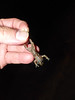 BG Leptodactylidae<br /> Leptodactylus melanonotus<br /> Sabinal Frog<br /> 2016