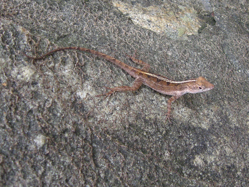 DA Iguania Iguanidae Dactyloidae <br /> Anolis cristatellus<br /> Puerto Rican Crested Anole<br /> 2013