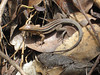 DCD Scincomorpha Teiidae<br /> Ameiva exsul<br /> Puerto Rican Giant Ameiva<br /> 2013