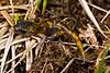 AB Plethodontidae Plethodontinae<br /> Ensatina eschscholtzii platensis<br /> Sierra Nevada Ensatina<br /> Tulare County<br /> 2015