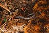 AB Plethodontidae Hemidactyliinae<br /> Batrachoseps robustus<br /> Kern Plateau Salamander<br /> Tulare County<br /> 2015