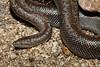 ED Booidea Boidae Charinidae<br /> Lichanura orcutti<br /> Three Lined Rosy Boa<br /> San Diego County<br /> Barrett Junction<br /> 2013