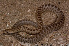 EEB Colubroidae Colubridae<br /> Arizona occidentalis occidentalis <br /> California Glossy Snake<br /> Riverside County