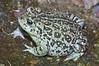 BA Bufonidae<br /> Anaxyrus boreas halophillus<br /> Western Toad<br /> San Diego County <br /> 2012