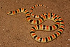 EEB Colubroidae Colubridae<br /> Chionactis occipitalis annulata<br /> Colorado Desert Shovel Nosed Snake<br /> San Diego County
