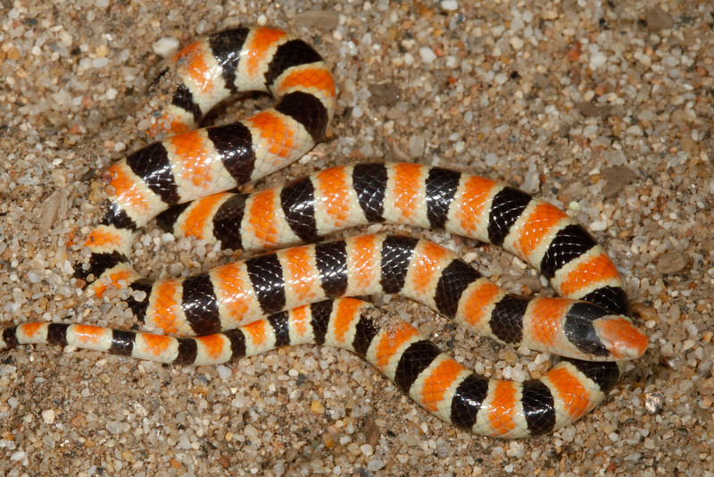 EEB Colubroidae Colubridae<br /> Chionactis occipitalis annulata<br /> Colorado Desert Shovel Nosed Snake<br /> San Diego County<br /> 2013 Specimen #1