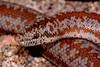 ED Booidea Boidae Charinidae<br /> Lichanura orcutti<br /> Three Lined Rosy Boa<br /> Riverside County